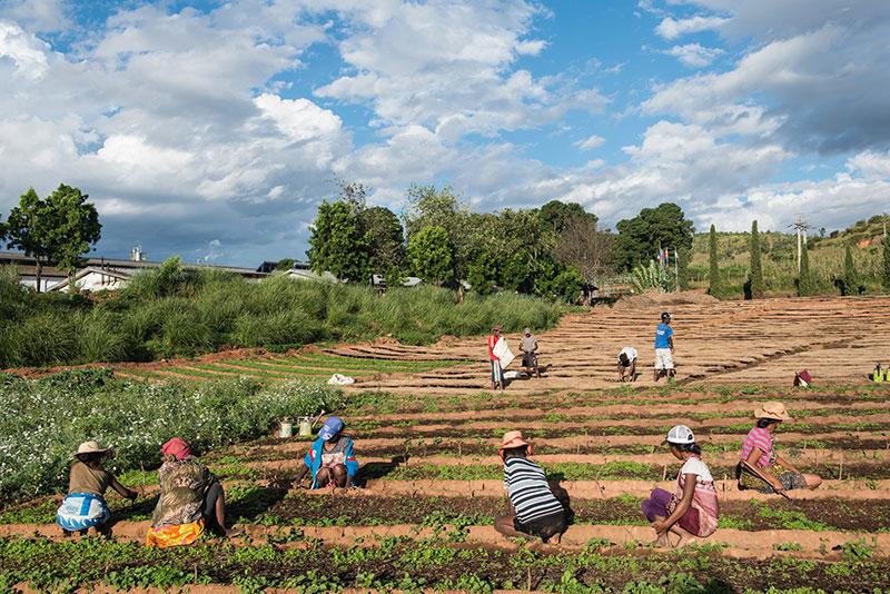 Ouvriers sur champ artemesia madagascar
